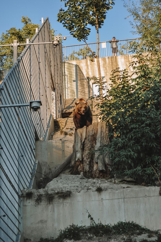 Gros plan sur un ours brun
