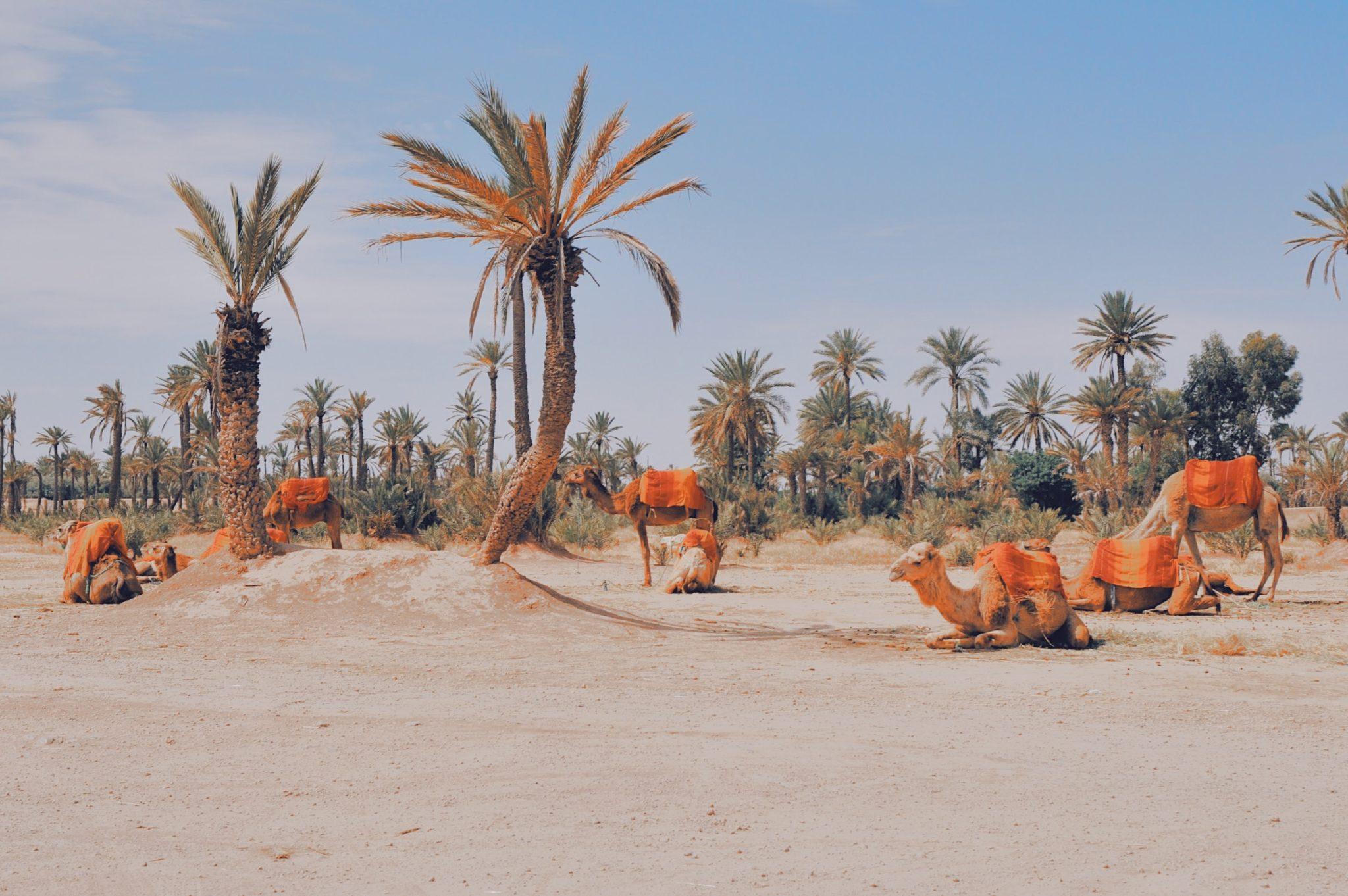 Les chameaux se reposant entre deux balades
