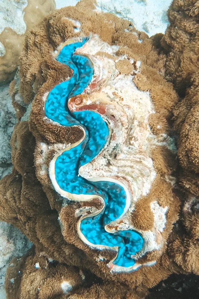 Bénitier à bouche bleue