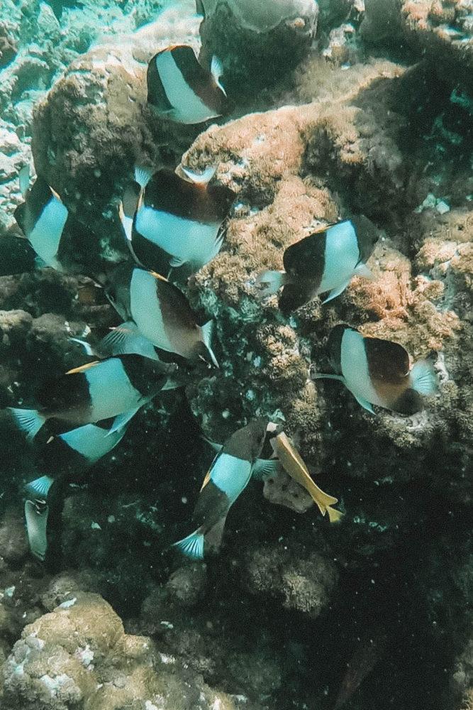 Famille de poisson-papillon pyramide noir