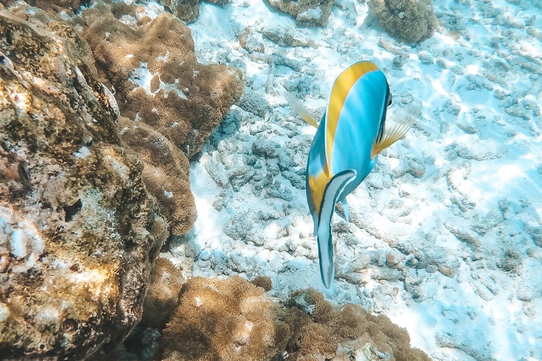 """Paracanthurus hepatus connue sous le nom de Dori dans """"Le Monde de Nemo"""""""