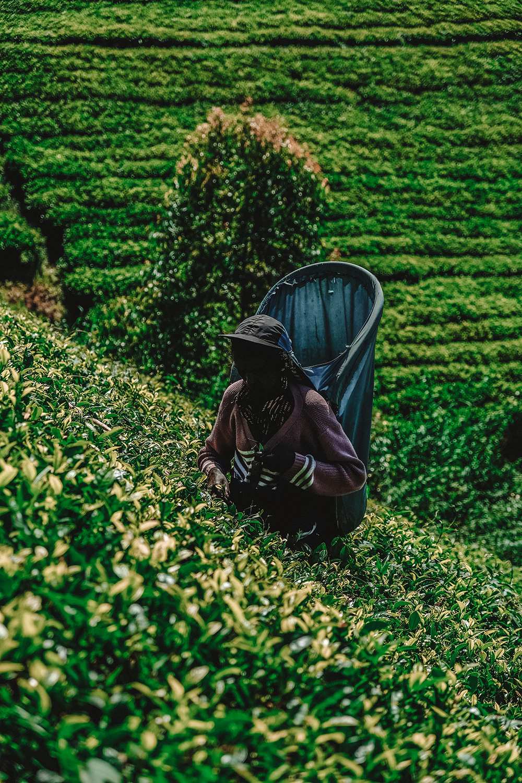 Une cueilleuse au beau milieu d'arbres à thé