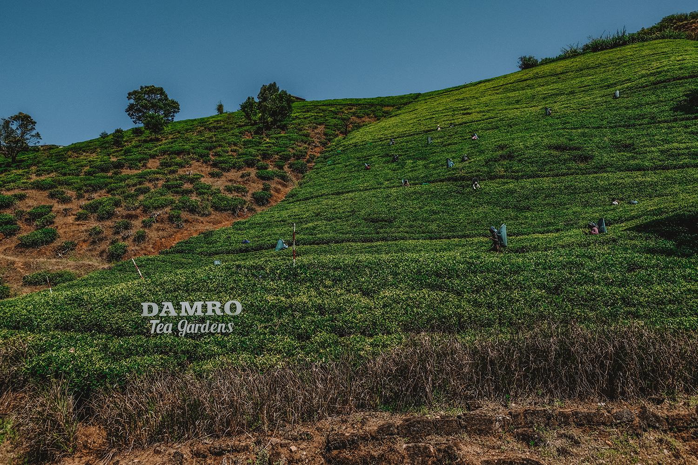 Parcelles d'arbres à thé appartenant à Damro Tea Gardens