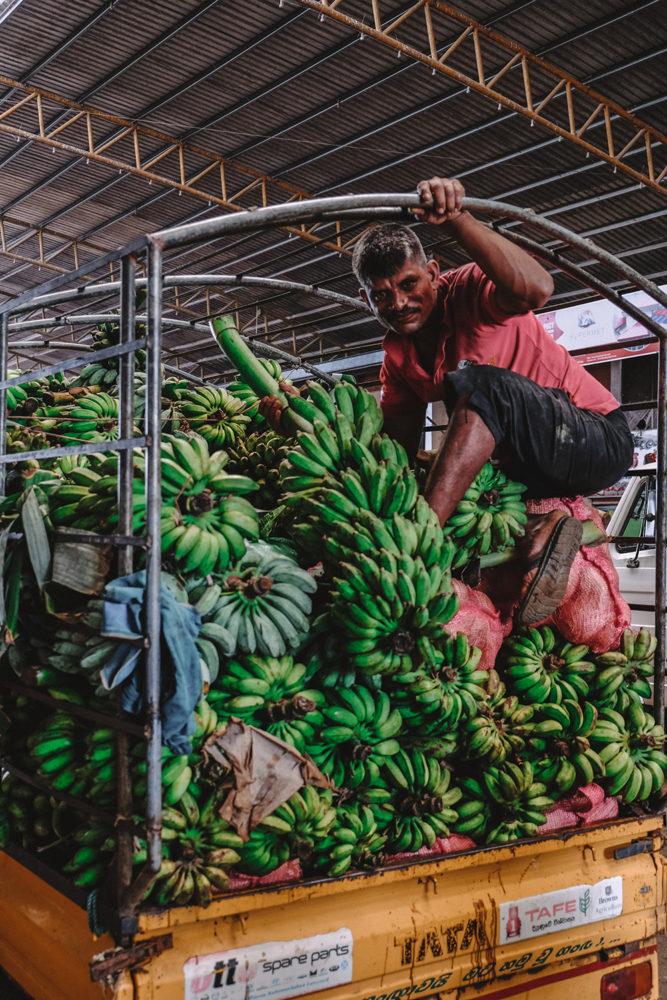 Arrivée des grappes de bananes encore vertes
