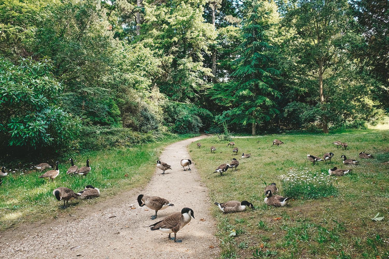 Les nombreux canards du parc