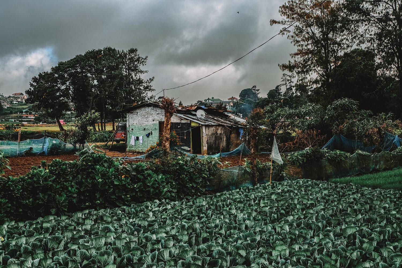 Petite maison d'agriculteur et sa plantation de choux