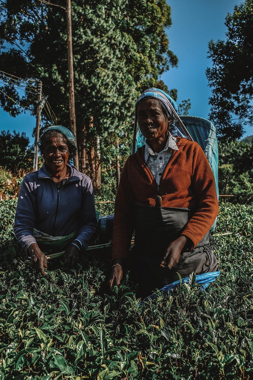 Cueilleuses de thé dans les champs