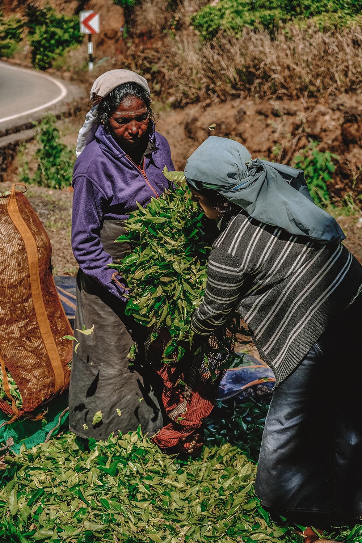 Remplissage des sacs avec les feuilles de thé