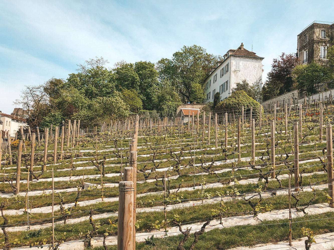 La vigne de Montmartre