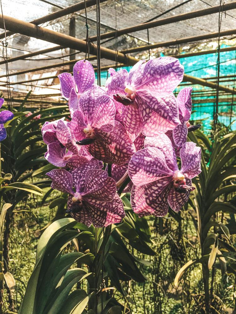 Une des nombreuses variétés d'orchidées du site