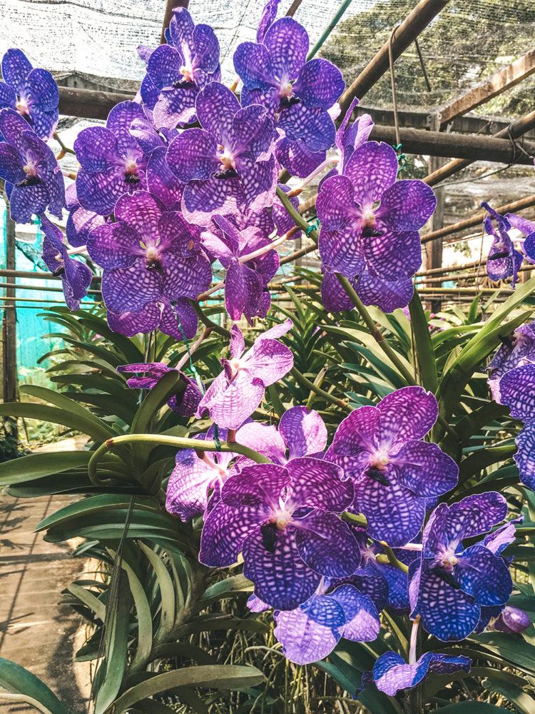 Grande orchidée violette