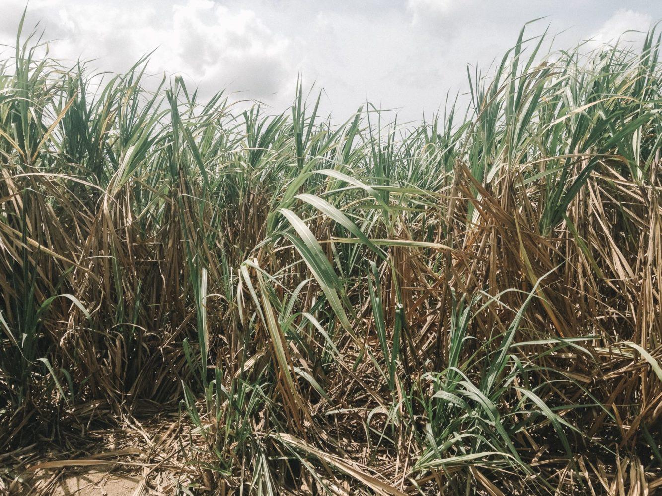 La récolte de la canne à sucre, un métier difficile et très physique