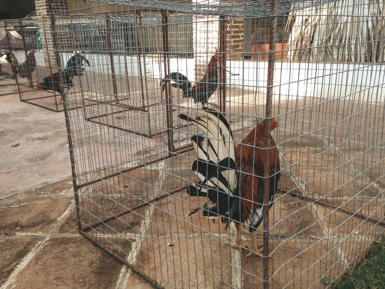 Les coqs tenus en cage avant d'entrer dans l'arène de combat